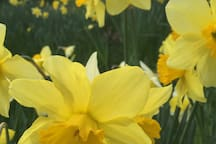 Daffodil heaven - late Winter to early Spring