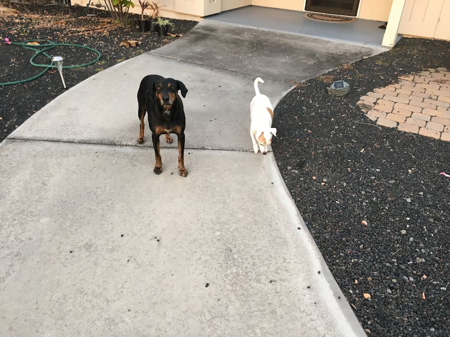 """I have 2 """"poi"""" dogs Vanilla and Bonez . Very friendly!  Sadly, Vanilla-Bean passed away from breast cancer at  12 years of age 9-9-17 we are still somewhat sad our little bean is no longer with us she was a kind soul ......RIP)"""