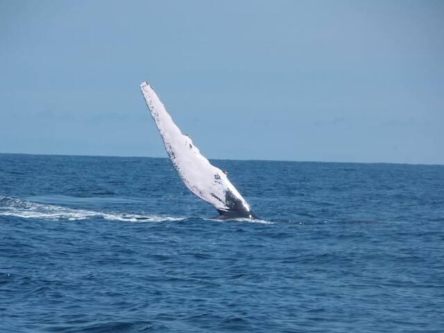 Saludos de la ballena yubarta o jorobada