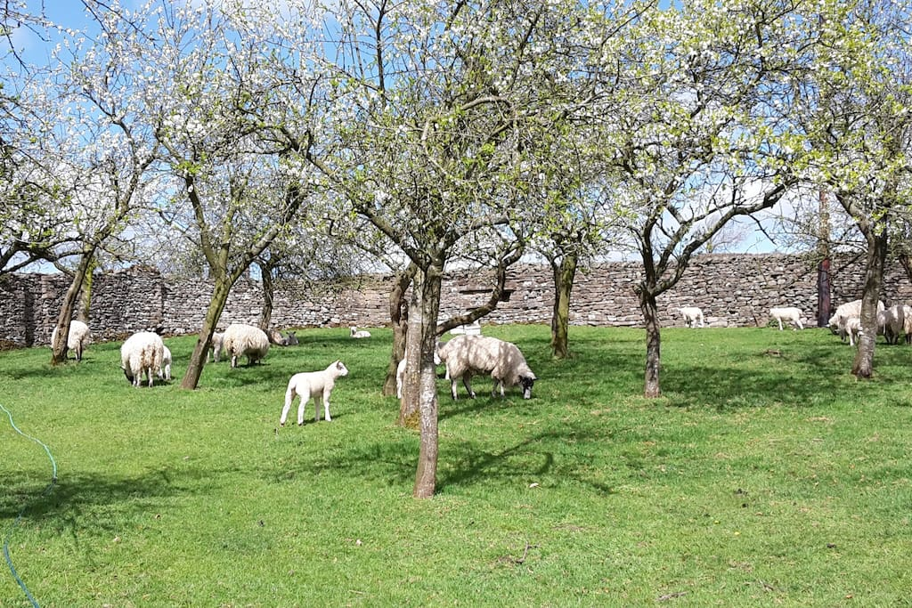 The plum orchard with the new lambs