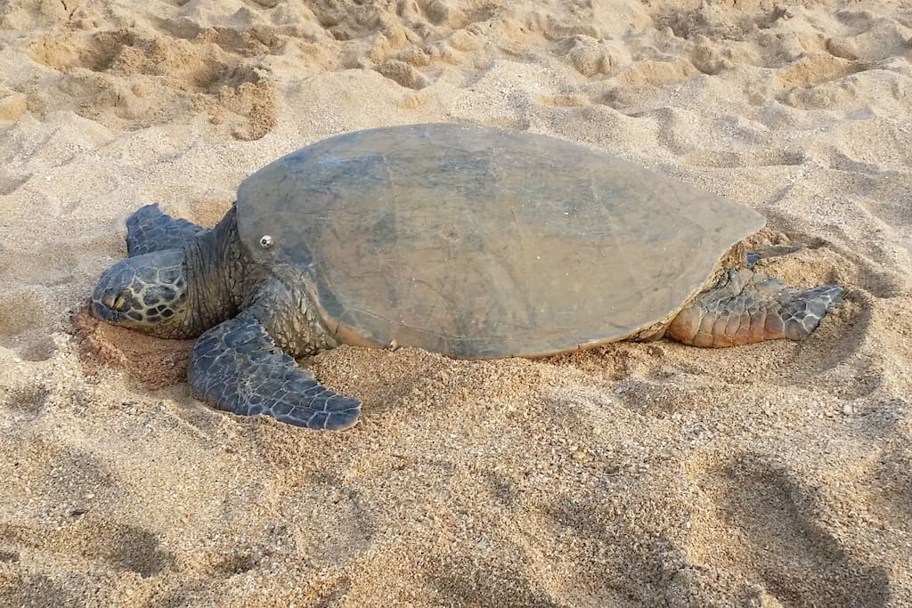 One of four Honu's we spotted today taking a nap in the sun.