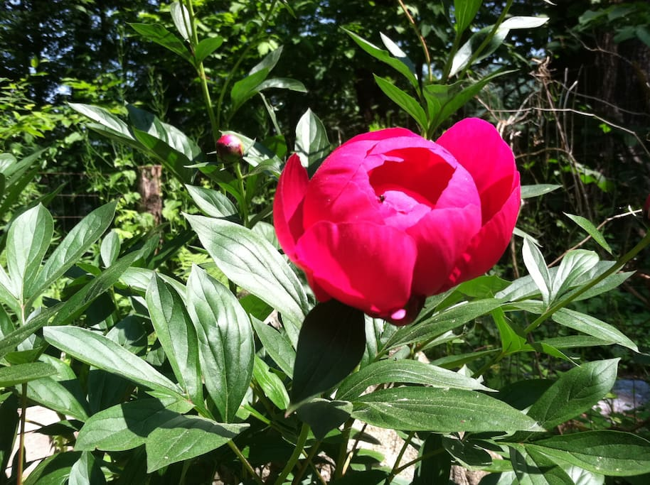 Catch the peonies in bloom!