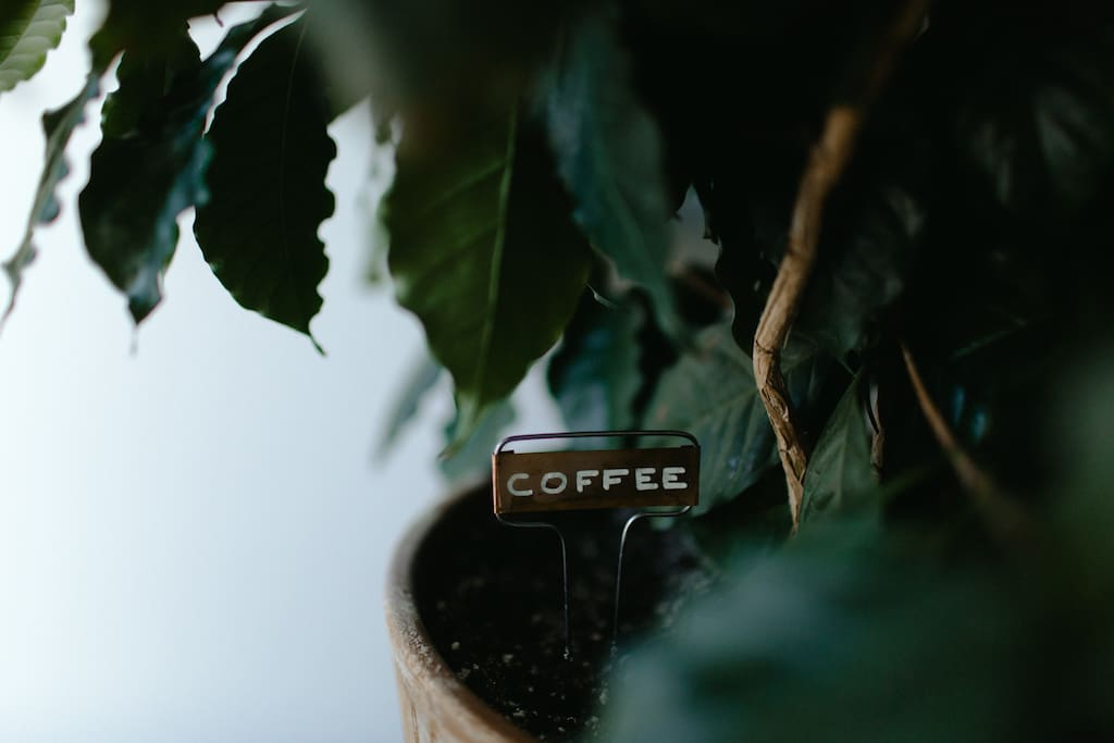 Coffee tree.