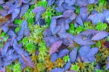 Wild Blueberry leaves after the first frost
