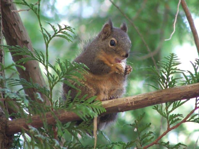 Native Squirrel