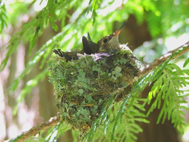Breeding hummingbird in her nest of lichens and moss tight together with spider webs