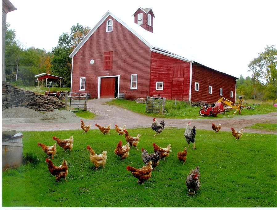 This is our basse cour, and why we call our farm La Basse Cour: The Farmyard.