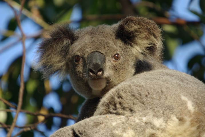 Wild Koalas, Your Own Flat & Pool! - Wellington Point - Daire