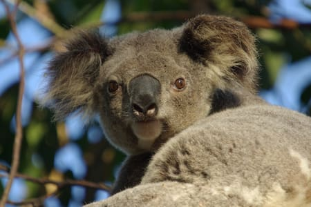Wild Koalas, Your Own Flat & Pool! - Wellington Point - Vierassviitti