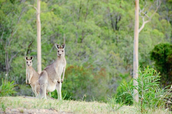 Kangaroos in the valley