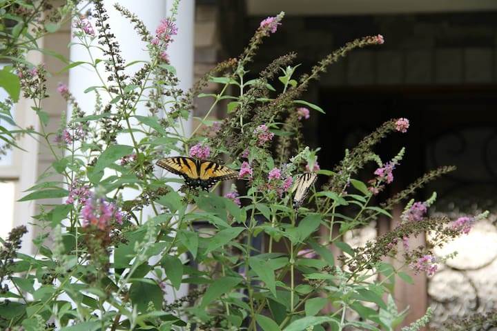 Butterfly bush, monarch butterflies and bees compete for the nectar of this bush.