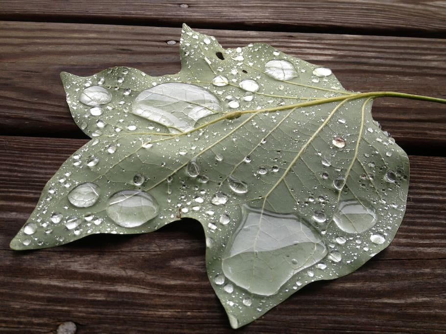 Tulip Poplar leaf after a rainstorm...