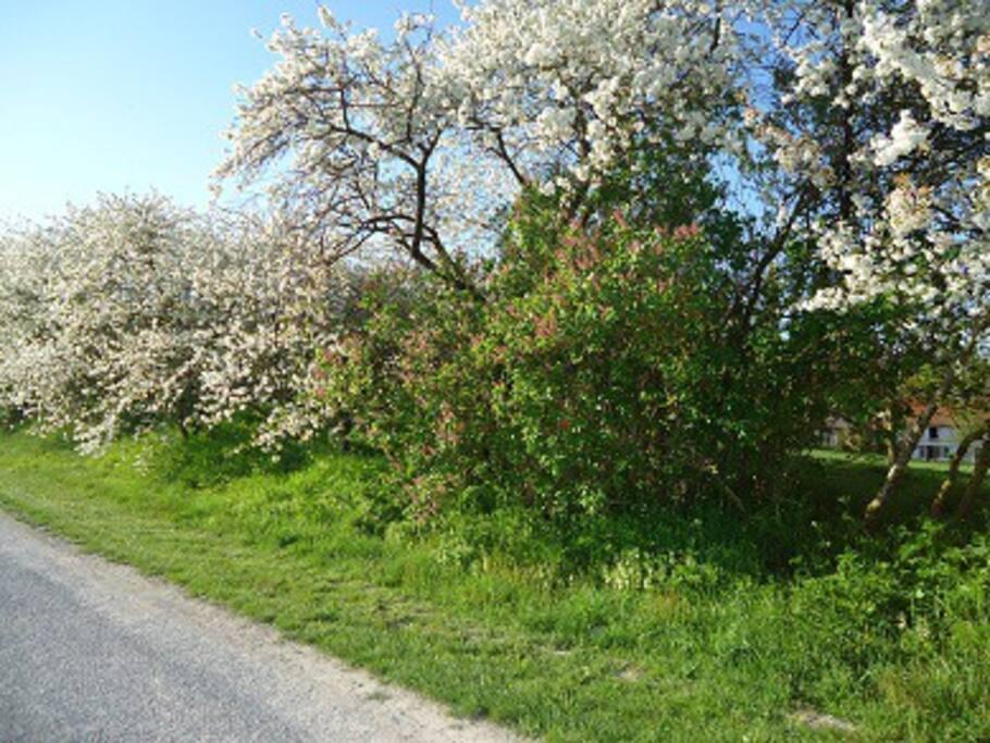 La haie de cerisiers bordant notre propriété