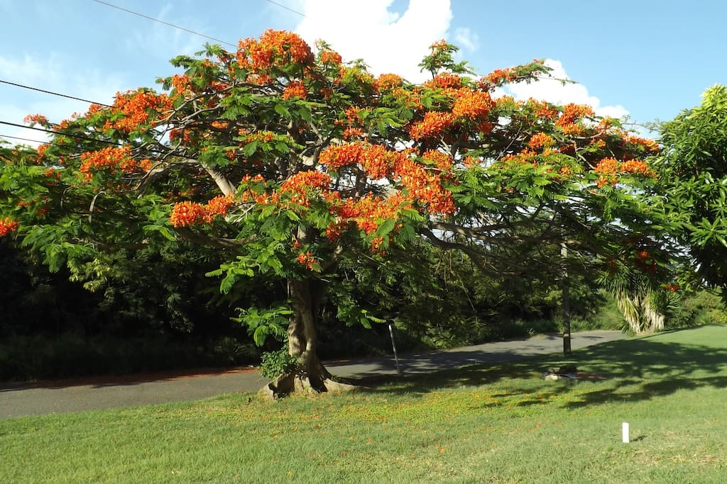 Flamboyant tree in yard.