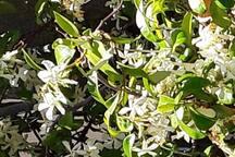 Le Jasmin quando è in fiore emana un profumo inebriante che avvolge  la mia casa, l'acqua che mormora nel ruscello dona pace e tranquillità all'anima ....