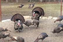 feeding wild turkeys
