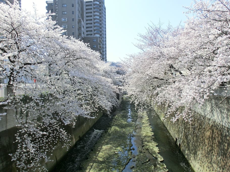 Cherry blossom trees(It takes 5 minutes on foot)
