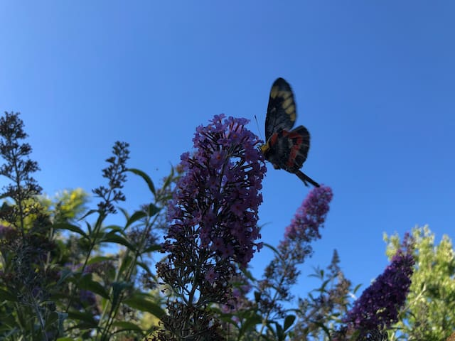 Butterfly bushes