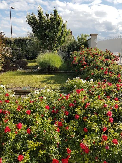 Jardin très fleuri principalement de Roses
