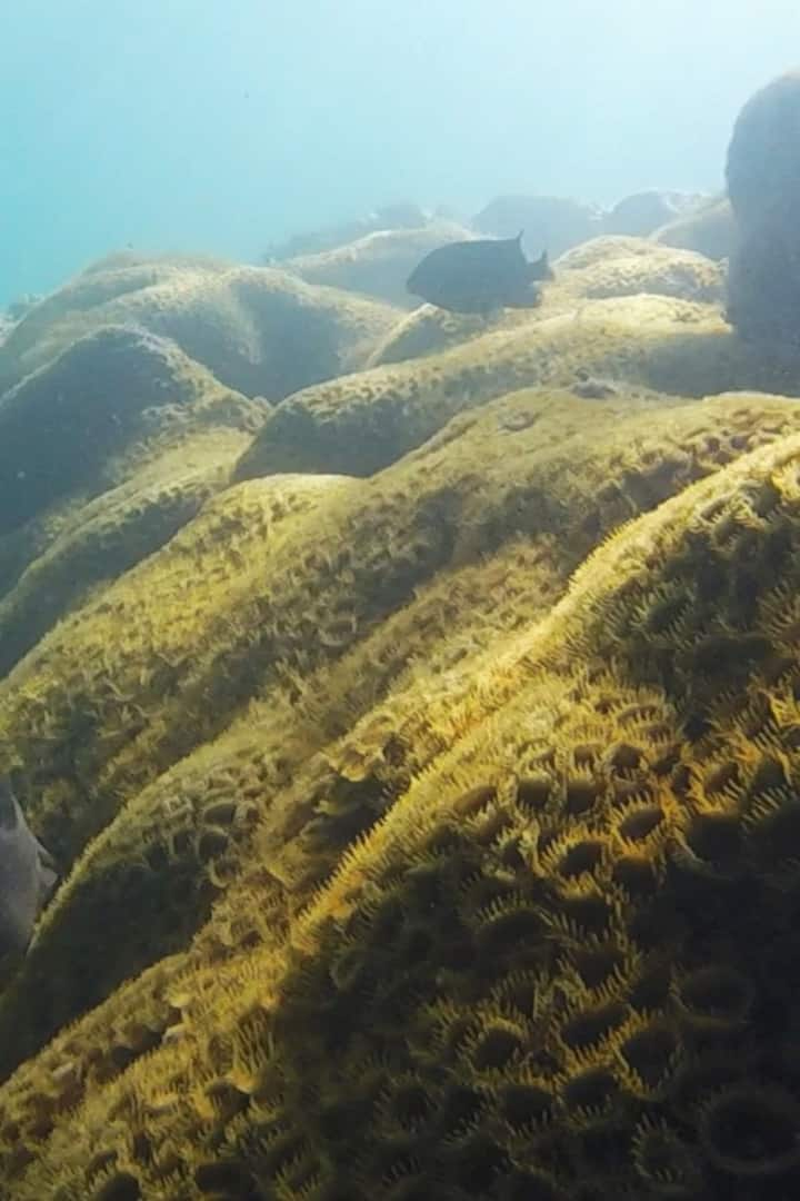 A large colony of Palythoa ignota