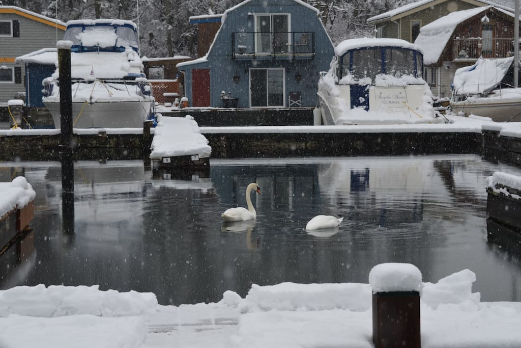 Local swans in Maple Bay. Back again this winter.