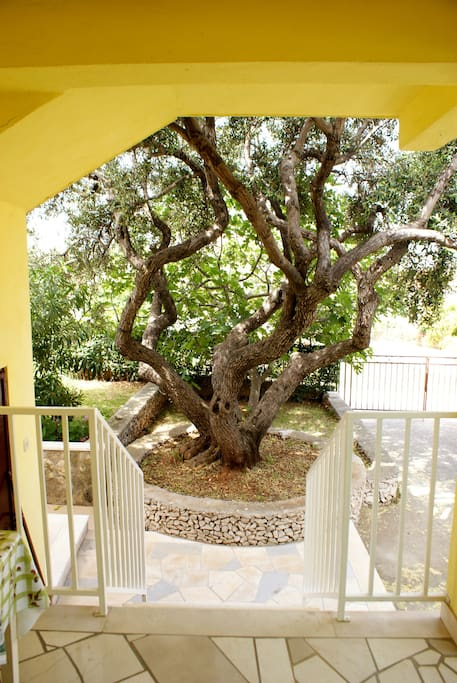 Our old olive tree