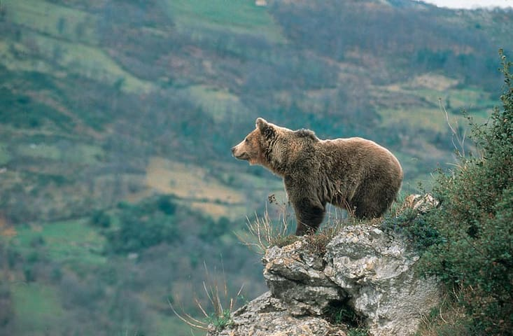 The bear world. Pola de Somie