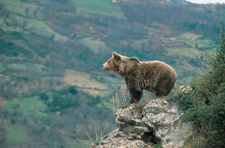 The bear world. Pola de Somie