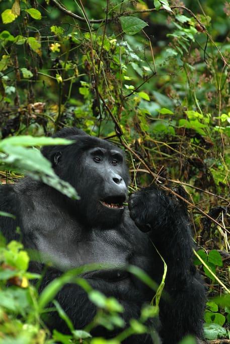ruhija gorilla safari lodge bed breakfasts en alquiler