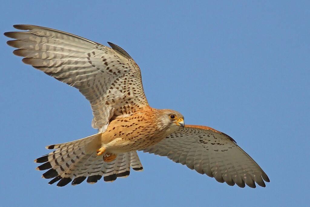 Naumanni Falco Grillaio - Una colonia di falchi dà il nome alla nostra villa