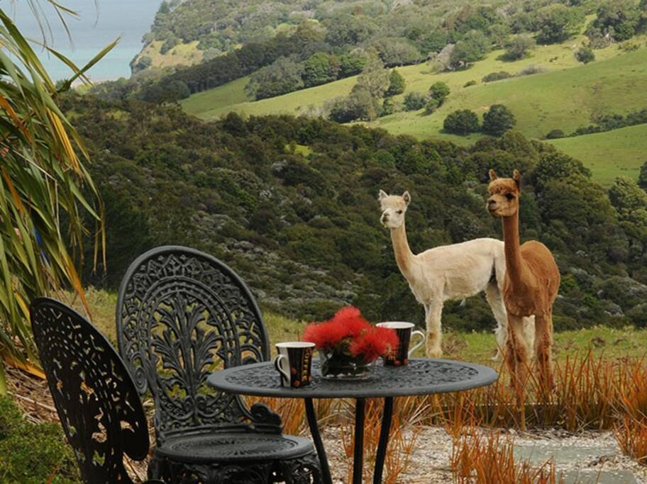 Meet our Alpacas as you sit on your own private deck.