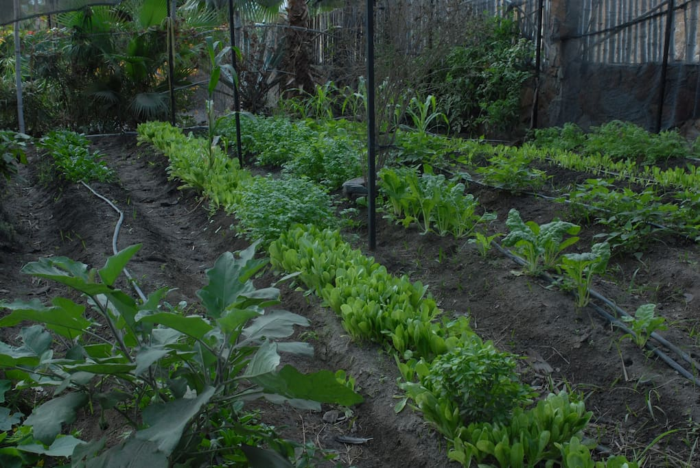 Our crops and greens to fix good organic salads...