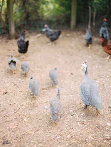 We have guinea fowl and chickens.