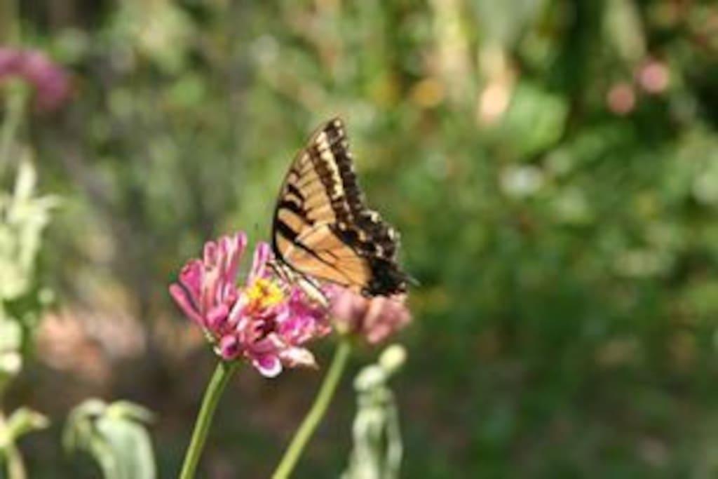 Backyard butterfly habitat on a pond attracts native butterflies as well as waterbirds.