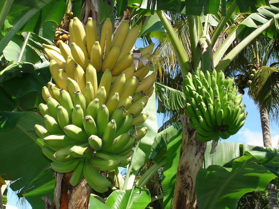 Bananas grow in our garden as well as mangoes and carambolas