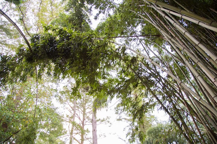 The bamboo forest canopy