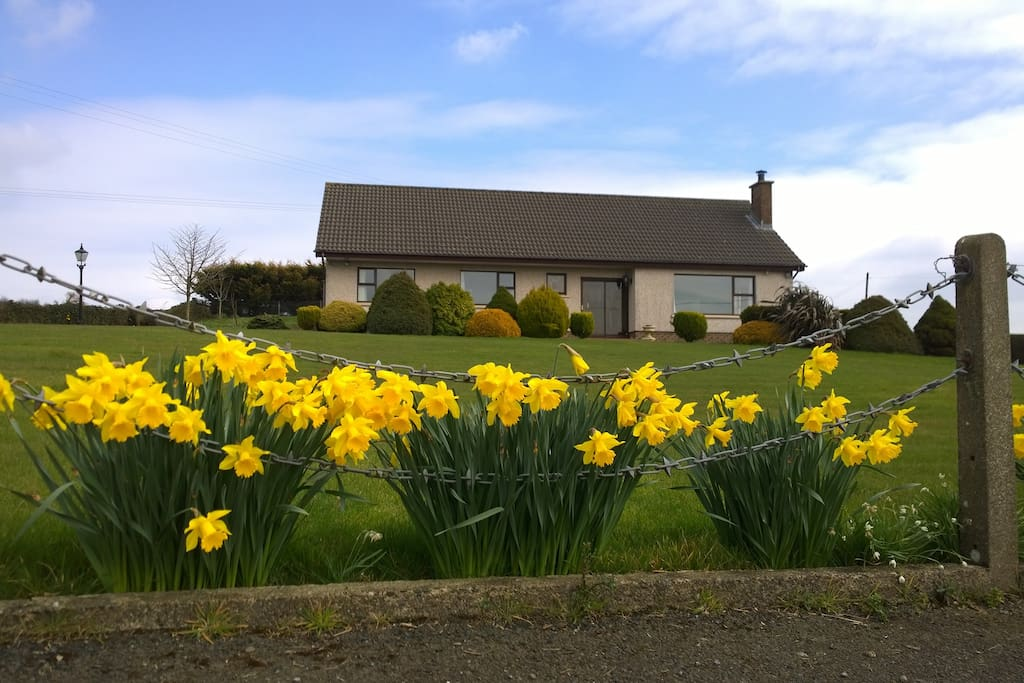 Daffodils in full bloom March to May