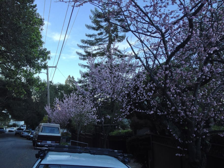 Our street in January with plum blossoms