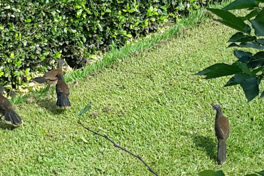 PAVAS en nuestro jardin.