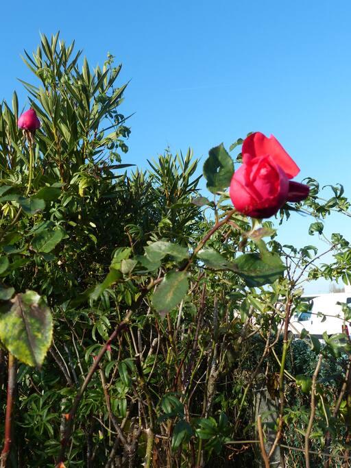 une rose du jardin en l'hiver
