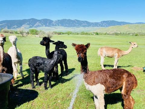 Gänsetalfarm, Alpakafarm unter den großen Hörnern