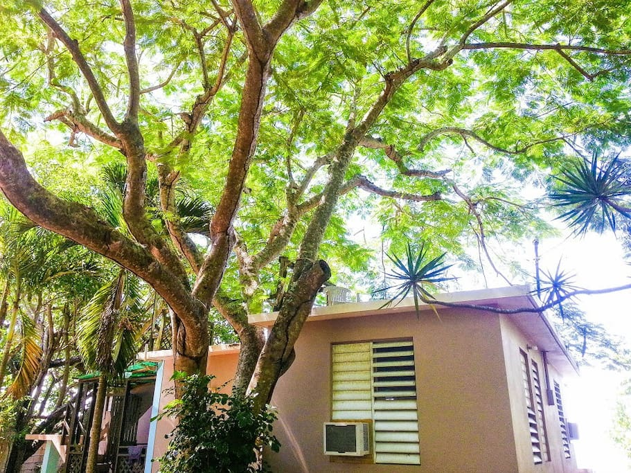 House under a Flamboyan Tree
