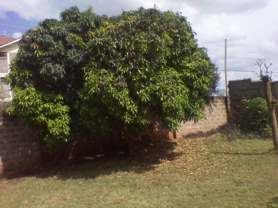 Mango tree in the garden