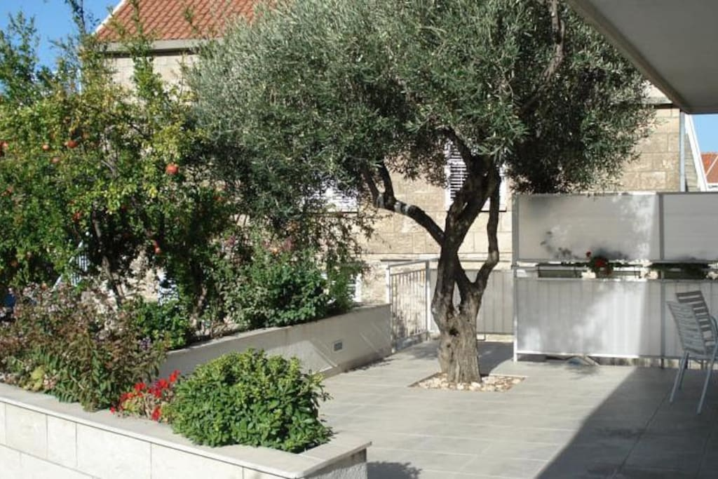 Olive tree on the terrace