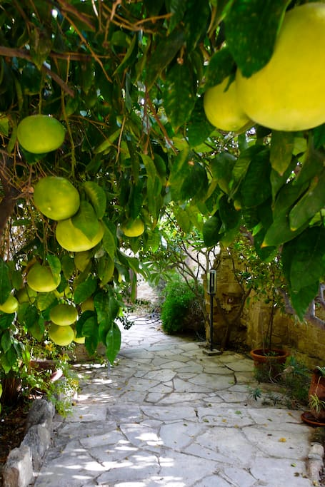 Grapefruits in the garden, view from the converted donkey house.