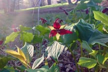 Trillium - rare mountain wild flower in our yard by the river