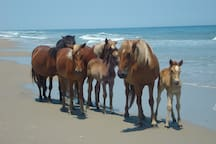 Spanish Mustang Family - Carova Beach.