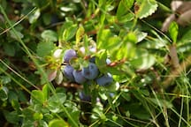 Pick wild blueberries on our land!