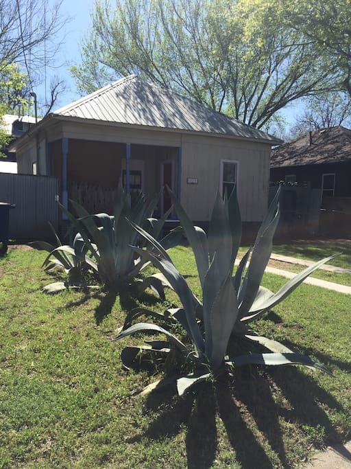 Beautiful Agaves In The Front Yard