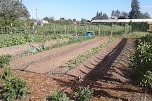Organic vegetables free for your picking; organic pinot noir vineyard behind.